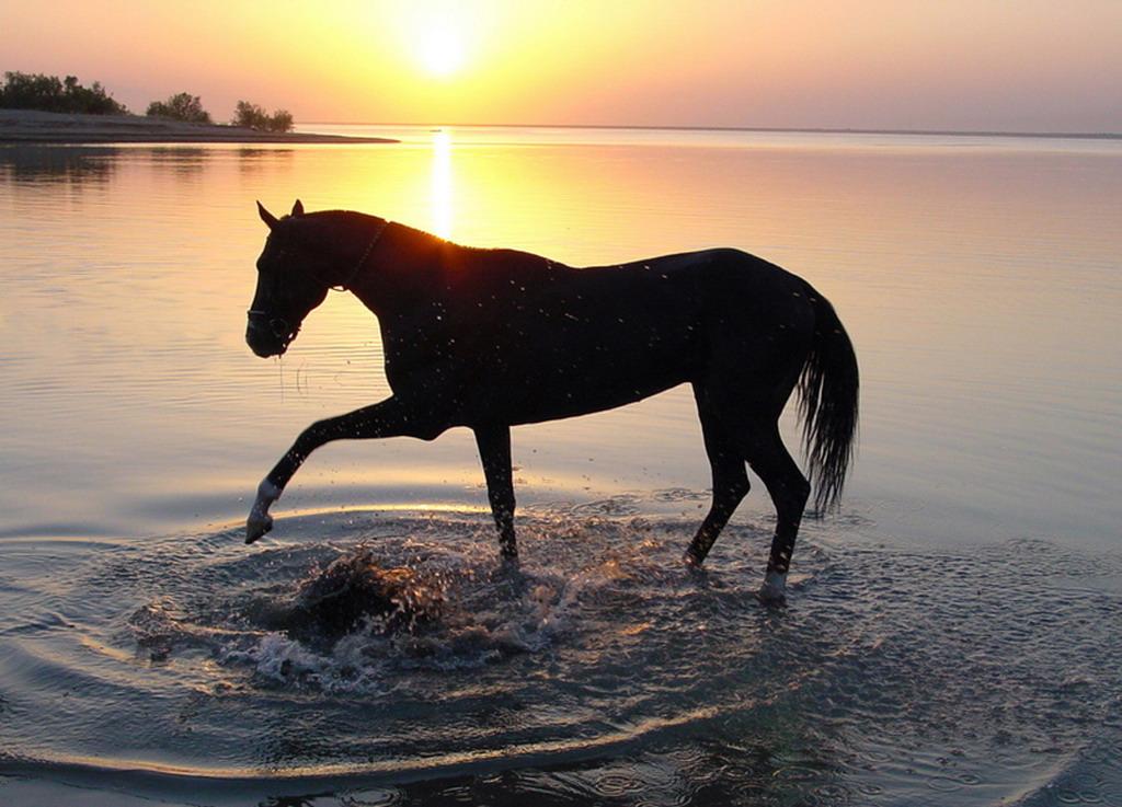 Ahal Teke Horse, Turkmenistan (1)