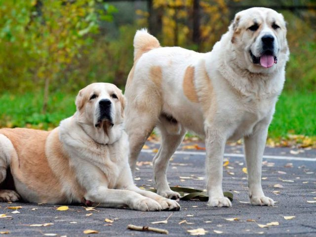 Alabai - one of the oldest breed of dogs
